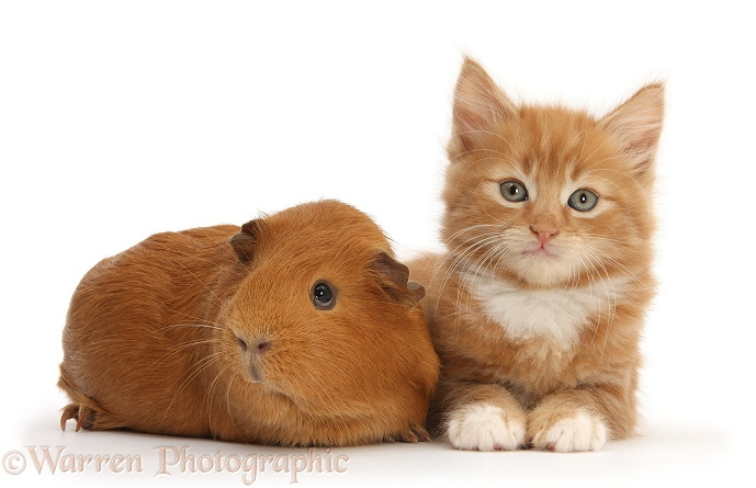 Ginger kitten, Butch, 7 weeks old, and red Guinea pig, white background