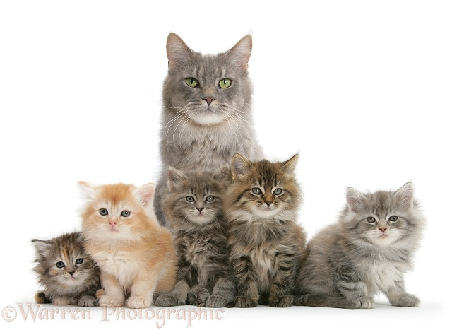 Mother Maine Coon cat, Serafin, and five kittens, 7 weeks old, white background