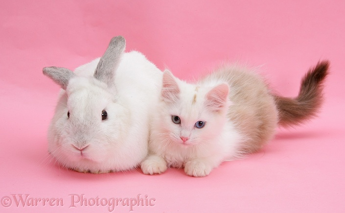 cute white kittens wallpapers