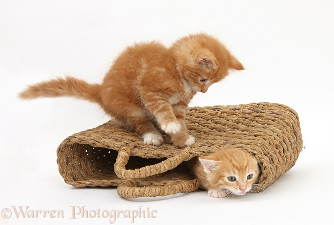Ginger kittens, Tom and Butch, 7 weeks old, playing in a raffia bag, white background
