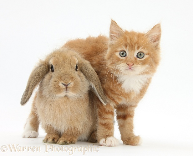 Ginger kitten, Butch, 7 weeks old, and young sandy Lop rabbit, white background
