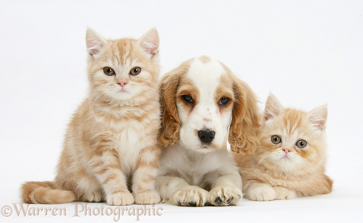 Orange roan Cocker Spaniel pup, Blossom, with ginger kittens, white background