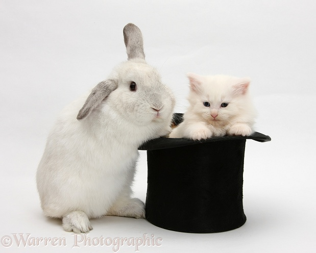 Rabbit and white Maine Coon kitten in a top hat, white background