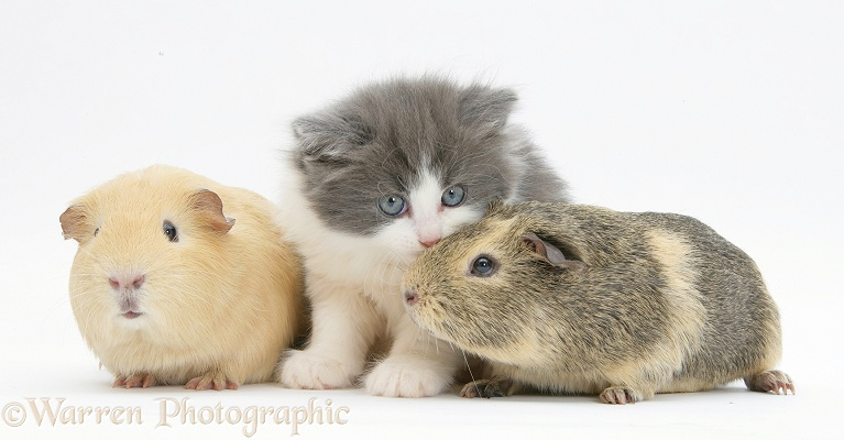 Grey-and-white kitten with Guinea pigs, white background