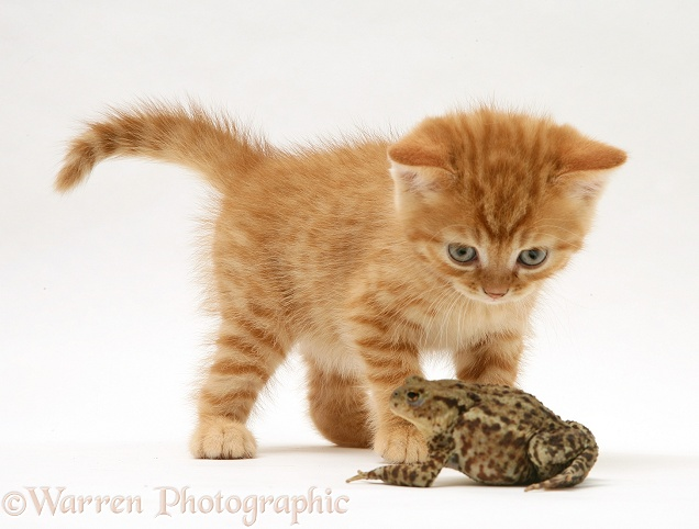 Ginger kitten and toad, white background