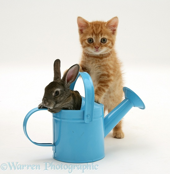 Ginger kitten with rabbit in a toy watering can