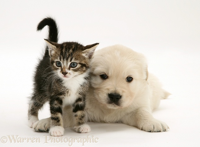 Tabby kitten and Golden Retriever pup, white background