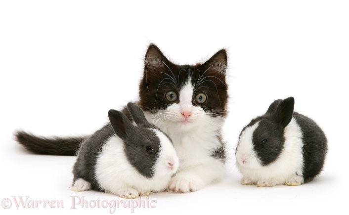 Black-and-white kitten with baby blue Dutch rabbits, 3 weeks old, white background