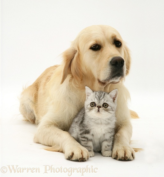 Pets: Silver tabby Exotic kitten and Golden Retriever photo - WP26867