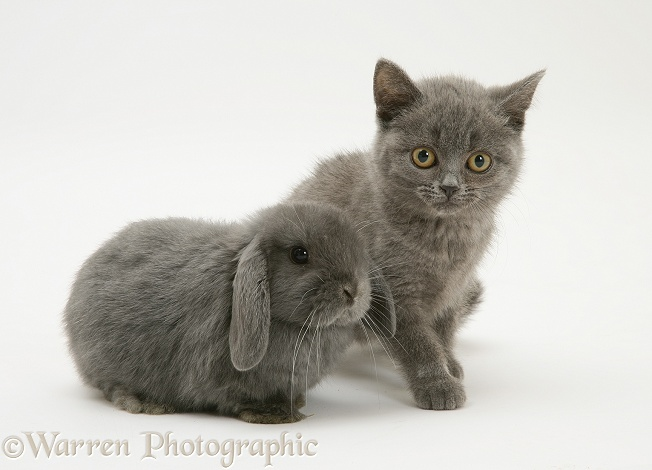 Grey kitten and grey rabbit