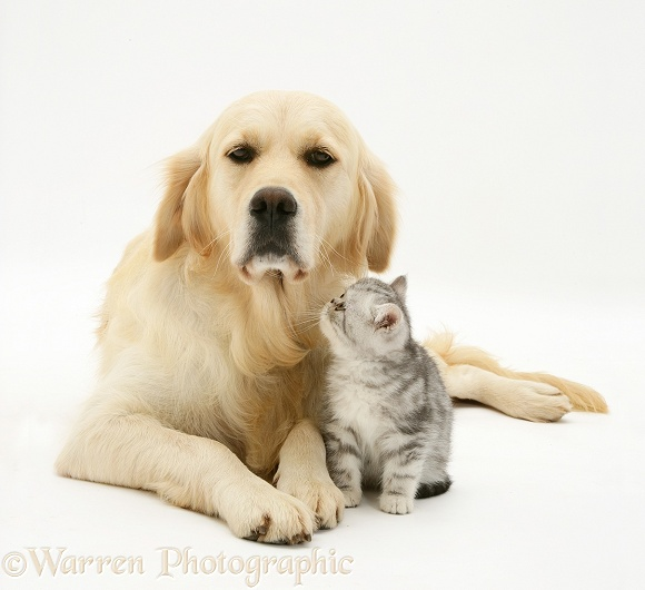 Silver tabby Exotic kitten and Golden Retriever, Lola, white background