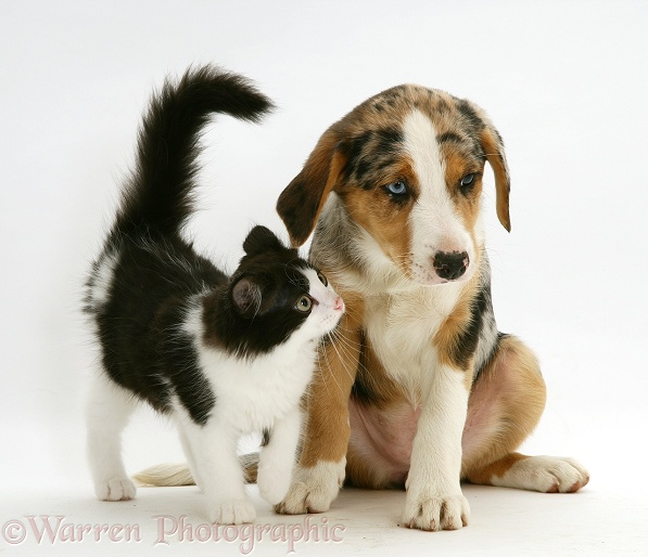 Black-and-white Nancy kitten with merle pup Border Collie, Kylie, 8 weeks old, white background