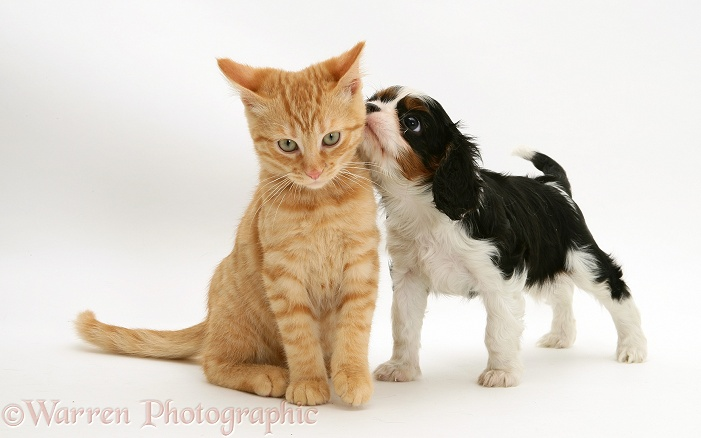 Cavalier King Charles Spaniel pup with ginger cat, white background