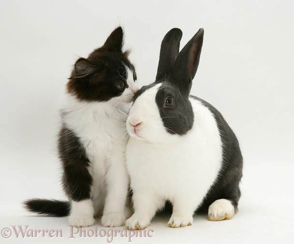 Black Dutch rabbit with black-and-white kitten Felix, white background