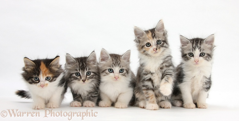 Five Maine Coon-cross kittens, 7 weeks old, white background