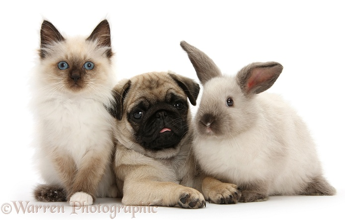 Pug pup with Colourpoint rabbit and kitten, white background
