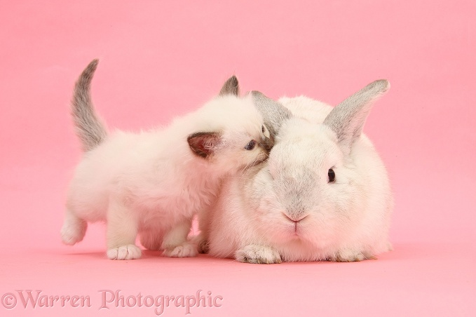 White kitten and white rabbit on pink background