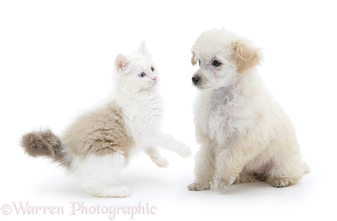 Miniature Apricot Poodle pup and playful Birman x Ragdoll kitten, Willow, 11 weeks old, white background