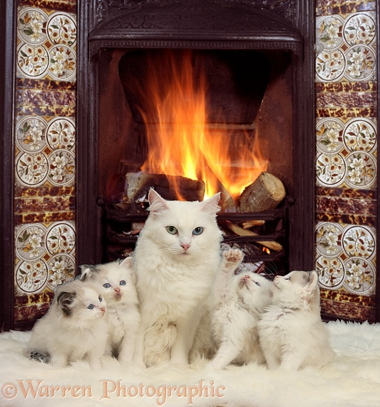 White Maine Coon-cross mother cat, Melody, and her kittens by the fire
