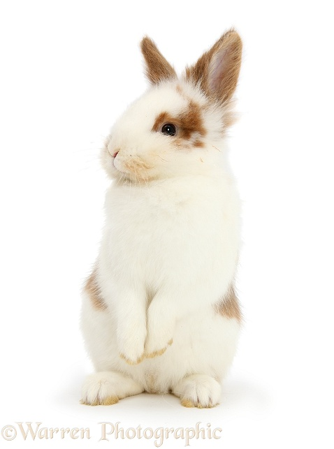 Young brown-and-white rabbit, white background