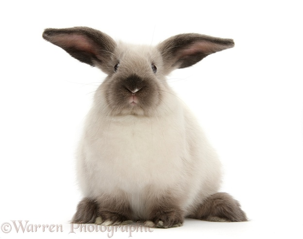Young colourpoint rabbit, white background