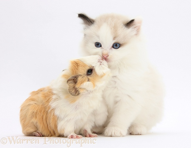Ragdoll-cross kitten and baby Guinea pig, white background