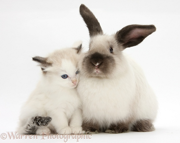 pets ragdoll cross kitten and young colourpoint rabbit