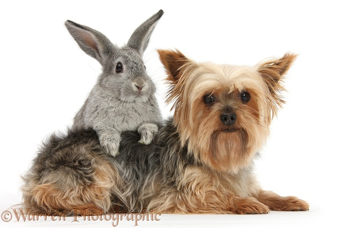 Yorkie and young rabbit