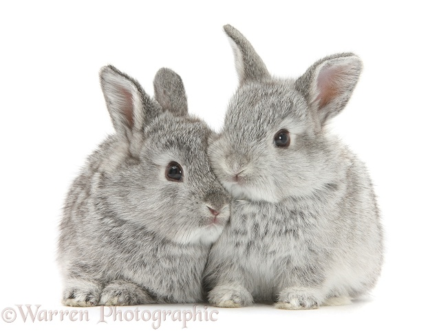Two baby silver rabbits, white background