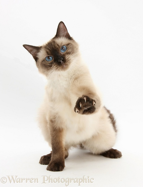 Birman-cross cat with one paw raised, white background