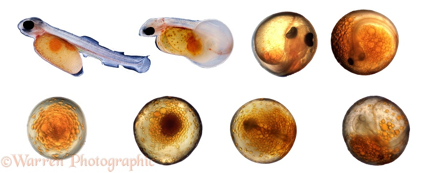 Rainbow Trout (Salmo gairdneri) development of new laid egg to hatchling.  (Read anti clockwise from bottom left), white background