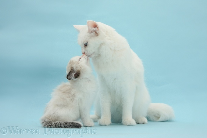 White Maine Coon-cross mother cat, Melody, nuzzling her kitten, 7 weeks old, on blue background