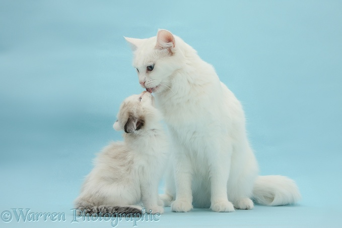 White Maine Coon-cross mother cat, Melody, licking her kitten, 7 weeks old