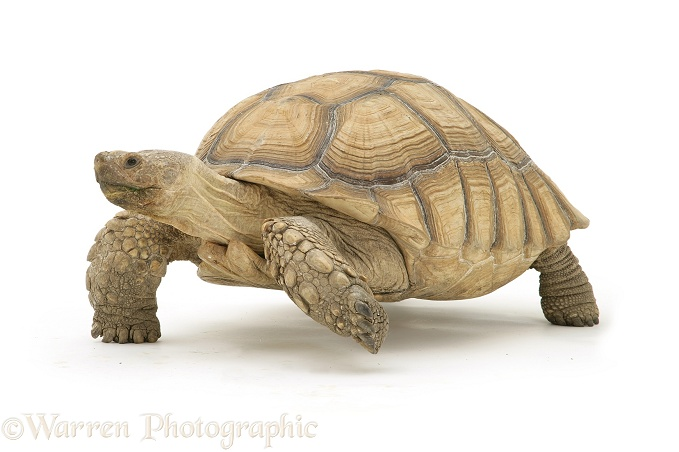 African Giant Tortoise (Testudo sulcata), white background