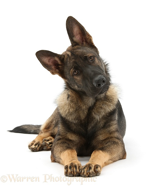German Shepherd Dog, Buster, looking inquisitively with tilted head, white background