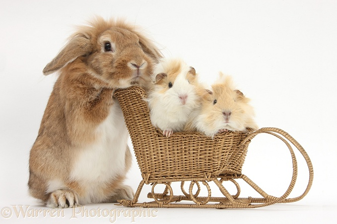 Sandy Lop rabbit pushing two young Guinea pigs in a wicker toy sledge, white background