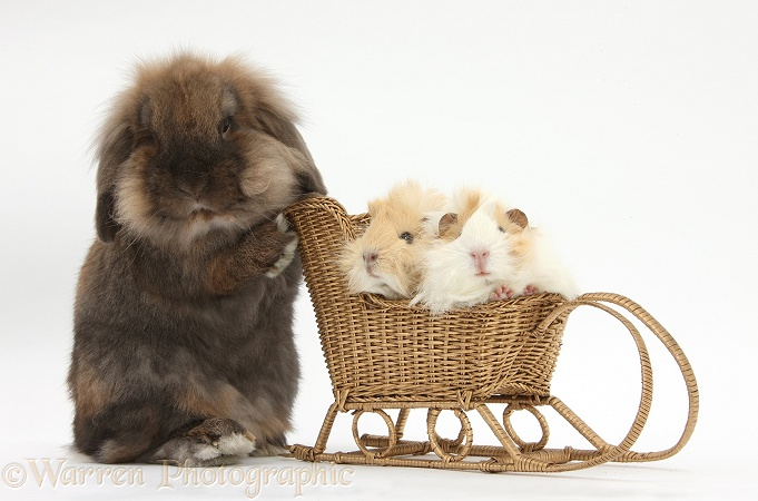 Lionhead-cross rabbit pushing two young Guinea pigs in a wicker toy sledge, white background