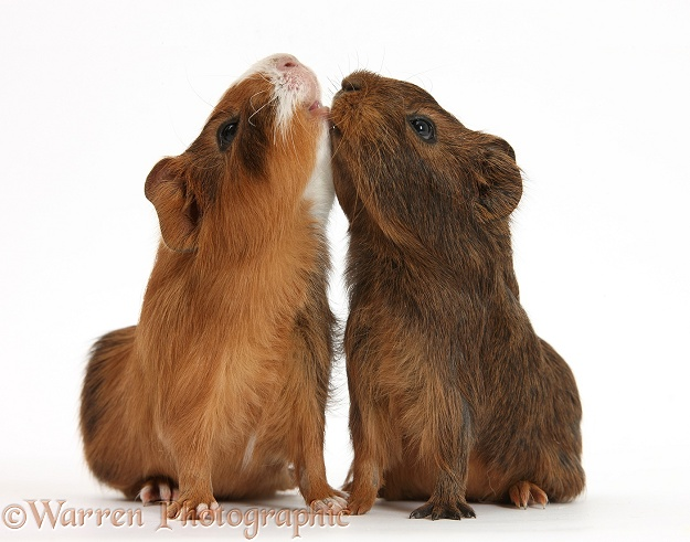 Young red agouti Guinea pigs reaching up, white background