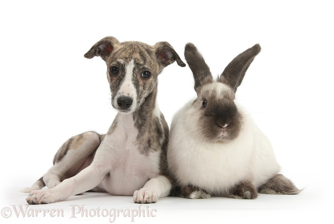 Brindle-and-white Whippet pup, Cassie, 9 weeks old, with colourpoint rabbit, white background