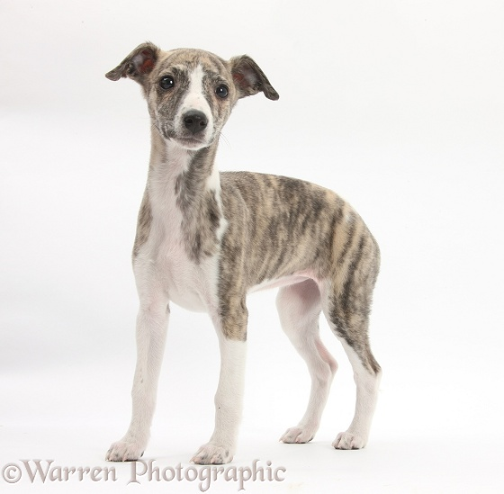 Brindle-and-white Whippet pup, Cassie, 9 weeks old, white background