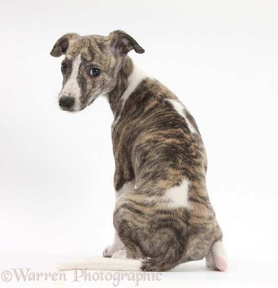 Brindle-and-white Whippet pup, Cassie, 9 weeks old, looking over her shoulder, white background