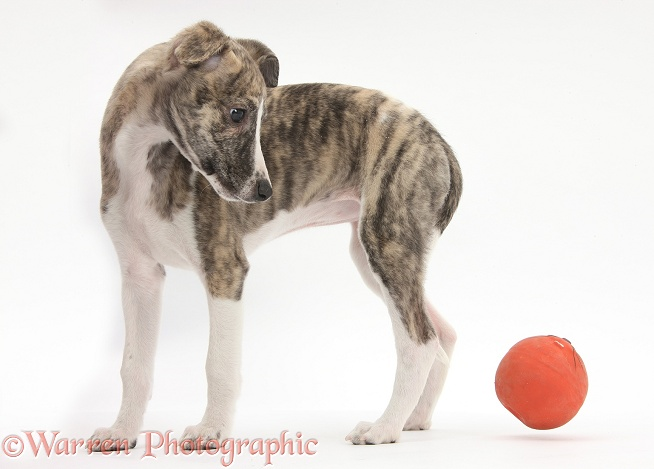 Brindle-and-white Whippet pup, Cassie, 9 weeks old, with a ball, white background