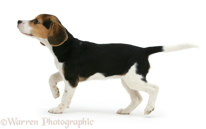 Beagle pup, Florrie, 4 months old, sniffing the air, white background