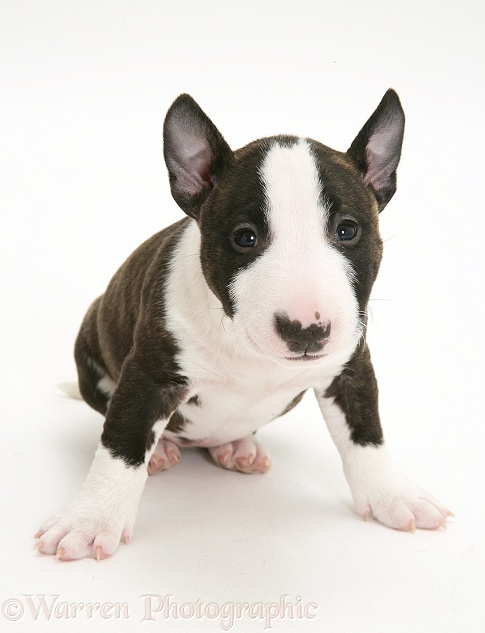 Miniature English Bull Terrier pup, 6 weeks old, white background