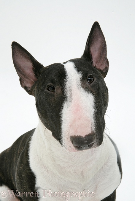Miniature Bull Terrier, Lily, white background