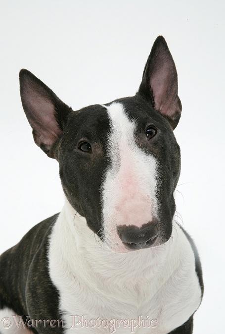 Dog: Miniature Bull Terrier photo - WP27202