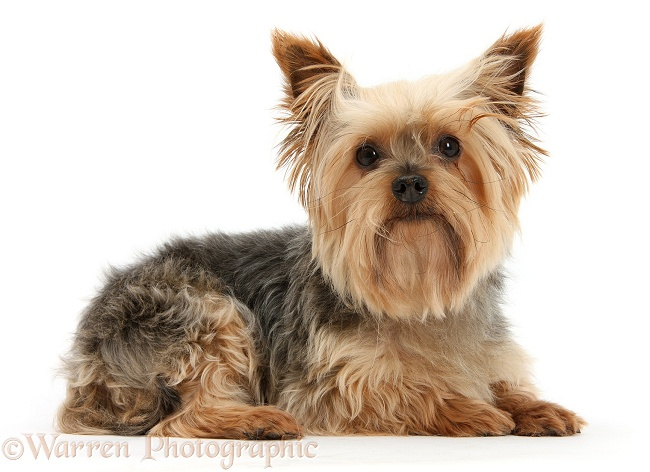 Yorkshire Terrier, Buffy, white background