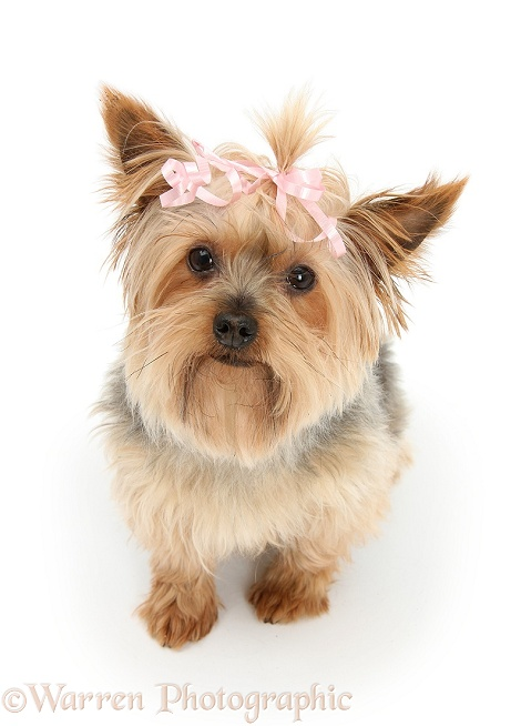 Yorkshire Terrier, Buffy, with a bow in her hair, white background