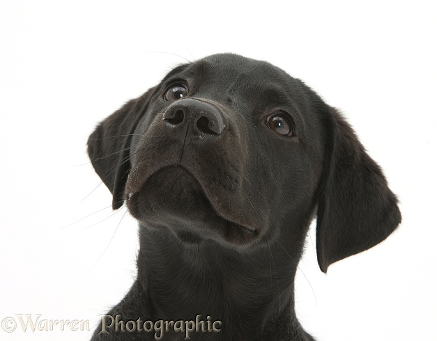 Black Labrador Retriever pup, Sam, white background