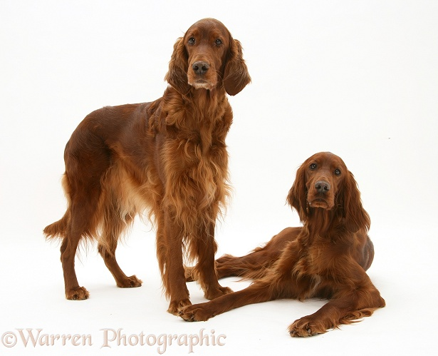 Red Setters, white background